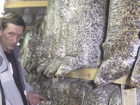 Производство грибов вешенка в домашних условиях - Russkij-Litra.ru